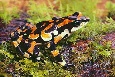 Harlequin Frog (Atelopus varius) female showing warning coloration, Talamancas, Costa Rica  -  Michael & Patricia Fogden