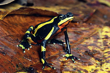 Harlequin Frog (Atelopus varius) female showing warning coloration, Monteverde, Costa Rica  -  Michael & Patricia Fogden