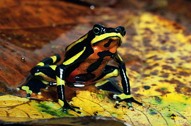Harlequin Frog (Atelopus varius) displaying warning coloration, Monteverde, Costa Rica  -  Michael & Patricia Fogden