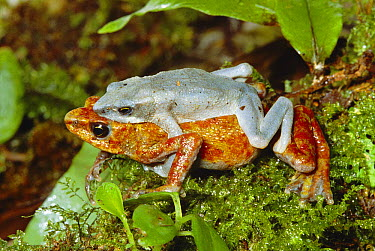 Harlequin Frog (Atelopus varius) male and female in amplexus, South America  -  Michael & Patricia Fogden