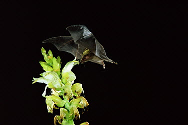 Geoffroy's Tailless Bat (Anoura geoffroyi) visiting an epiphytic Bromeliad (Vriesia sp) note pollen on head and shoulders, Costa Rica  -  Michael & Patricia Fogden