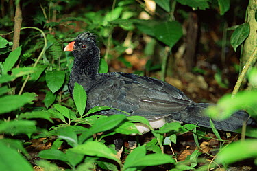 Salvin's Curassow (Mitu salvini) in rainforest understory, Ecuador  -  Michael & Patricia Fogden