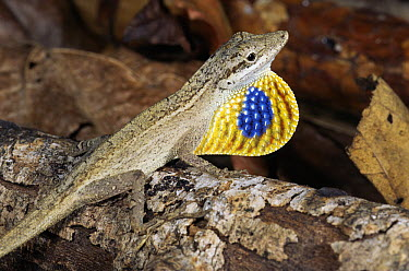 Silky Anole (Norops sericeus) male displaying dewlap, Costa Rica  -  Michael & Patricia Fogden
