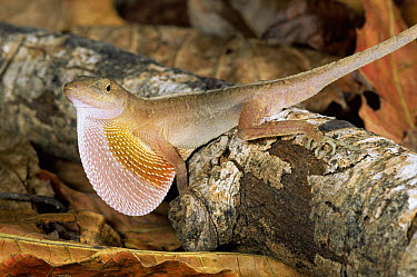 Dry Forest Anole (Norops cupreus) male displaying dewlap, Costa Rica  -  Michael & Patricia Fogden