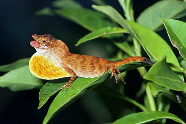 Montane Anole (Norops altae) male displaying dewlap to another male, Costa Rica  -  Michael & Patricia Fogden