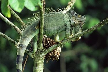 Green Iguana (Iguana iguana) male, Costa Rica  -  Michael & Patricia Fogden