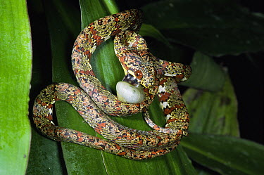Red-eyed Snail-eater Snake (Sibon lamari) predating a snail, has specially adapted teeth for biting through shells, Costa Rica  -  Michael & Patricia Fogden