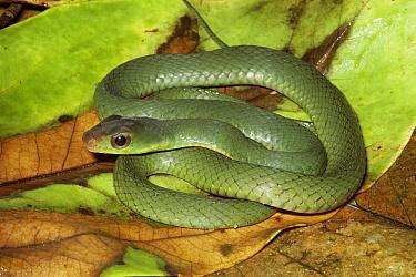 Green Racer (Drymobius melanotropis) amid leaf litter on rainforest floor, Costa Rica  -  Michael & Patricia Fogden