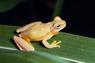 Yellow Cricket Treefrog (Hyla microcephala) on leaf, Costa Rica  -  Michael & Patricia Fogden