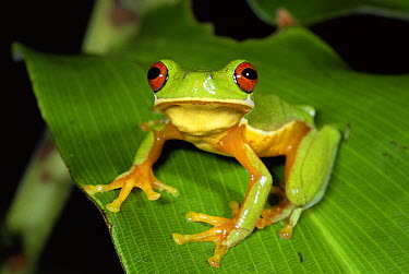 Costa Rica Brook Frog (Duellmanohyla uranochroa) population numbers have been affected by climate change, Costa Rica  -  Michael & Patricia Fogden
