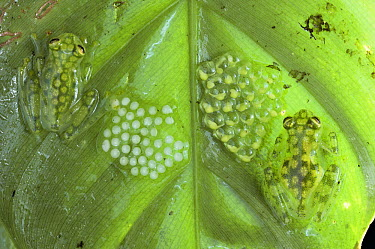 Reticulated Glass Frog (Hyalinobatrachium valerioi) pair guarding two clutches of eggs, each at different stages of development, Costa Rica  -  Michael & Patricia Fogden