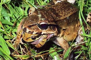Smokey Jungle Frog (Leptodactylus pentadactylus) predating Masked Puddle Frog (Smilisca phaeota), Costa Rica  -  Michael & Patricia Fogden