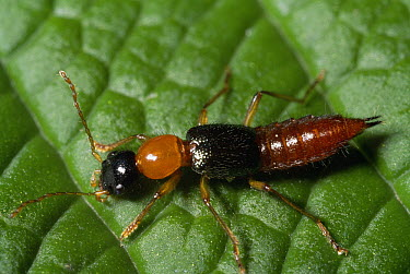 Rove Beetle (Staphylinidae) showing warning coloration, extremely caustic secretions, Costa Rica  -  Michael & Patricia Fogden