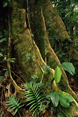 Rainforest tree showing buttress roots, Ecuador  -  Michael & Patricia Fogden