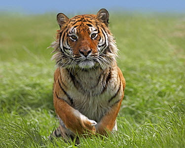 Siberian Tiger (Panthera tigris altaica) running, native to Russia  -  Tim Fitzharris