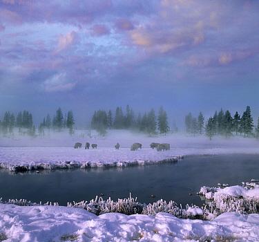 American Bison (Bison bison) herd grazing in winter, Yellowstone National Park, Wyoming  -  Tim Fitzharris