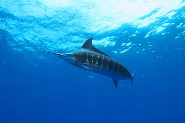Blue Marlin (Makaira nigricans), Bahamas, Caribbean  -  Norbert Wu