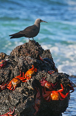 Brown Noddy (Anous stolidus) and Sally Lightfoot Crabs (Grapsus grapsus), Galapagos Islands, Ecuador  -  Kevin Schafer