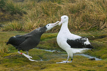 Wandering Albatross (Diomedea exulans) chick begging parent for food, Bird Island, South Georgia Island  -  Kevin Schafer
