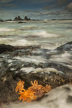 Eleven-armed Sea Star (Coscinasterias calamaria) group on coastal rocks at low tide, Paparoa National Park, New Zealand  -  Colin Monteath/ Hedgehog House