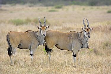 Eland (Taurotragus oryx) pair, Masai Mara, Kenya  -  Winfried Wisniewski