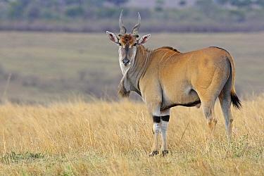 Eland (Taurotragus oryx) male, Masai Mara, Kenya  -  Winfried Wisniewski