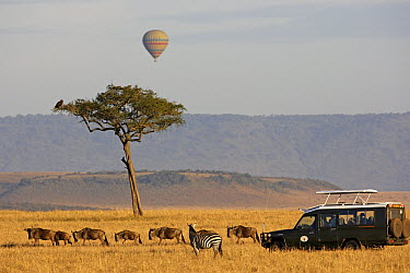 Blue Wildebeest (Connochaetes taurinus) herd with Burchell's Zebra (Equus burchellii) and tourists in landrover and hot air balloon, Masai Mara, Kenya  -  Winfried Wisniewski