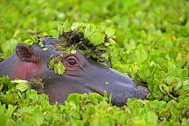 Hippopotamus (Hippopotamus amphibius) in water lettuce, Masai Mara, Kenya  -  Winfried Wisniewski