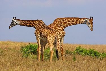 Masai Giraffe (Giraffa tippelskirchi) males fighting, Masai Mara, Kenya  -  Winfried Wisniewski
