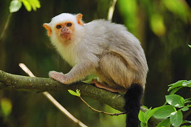 Silvery Marmoset (Callithrix argentata), native to Brazil  -  Thomas Marent