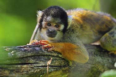 Bolivian Squirrel Monkey (Saimiri boliviensis) female, native to Peru  -  Thomas Marent