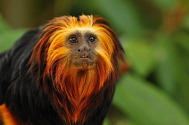 Golden-headed Lion Tamarin (Leontopithecus chrysomelas), native to Brazil  -  Thomas Marent