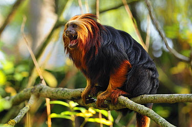 Golden-headed Lion Tamarin (Leontopithecus chrysomelas) calling, native to Brazil  -  Thomas Marent