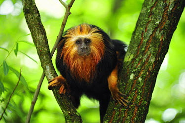 Golden-headed Lion Tamarin (Leontopithecus chrysomelas) in tree, native to Brazil  -  Thomas Marent
