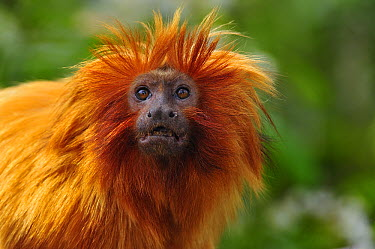Golden Lion Tamarin (Leontopithecus rosalia), native to Brazil  -  Thomas Marent