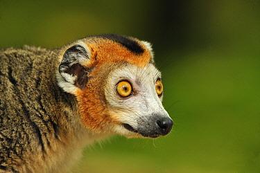 Crowned Lemur (Eulemur coronatus) male, native to Madagascar  -  Thomas Marent