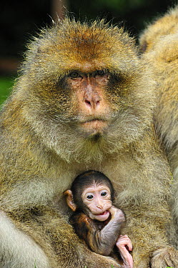 Barbary Macaque (Macaca sylvanus) mother with young sticking finger into its mouth, native to northern Africa  -  Thomas Marent