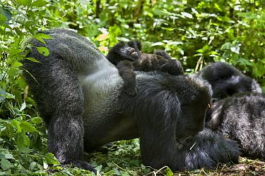 Mountain Gorilla (Gorilla gorilla beringei) silverback gently sliding one and a half year old baby off his back, Parc National des Volcans, Rwanda  -  Suzi Eszterhas