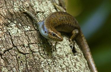 Aldabra Skink (Cryptoblepharus aldabrae) on tree trunk, Aldabra, Seychelles  -  Wil Meinderts/ Buiten-beeld