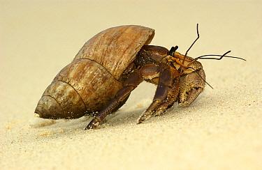 Indonesian Hermit Crab (Coenobita brevimanus), Aldabra, Seychelles  -  Wil Meinderts/ Buiten-beeld