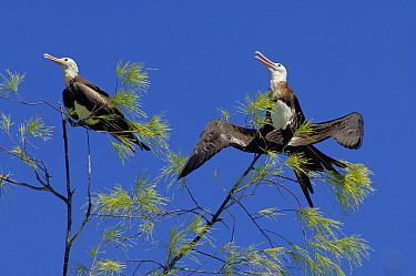 Great Frigatebird (Fregata minor) pair of subadults in a tree, Aldabra, Seychelles  -  Wil Meinderts/ Buiten-beeld