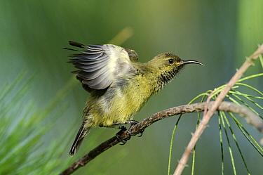 Souimanga Sunbird (Nectarinia sovimanga) female, Aldabra, Seychelles  -  Wil Meinderts/ Buiten-beeld