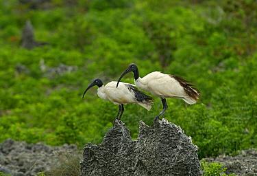 Malagasy Sacred Ibis (Threskiornis bernieri) pair on rock, Aldabra, Seychelles  -  Wil Meinderts/ Buiten-beeld