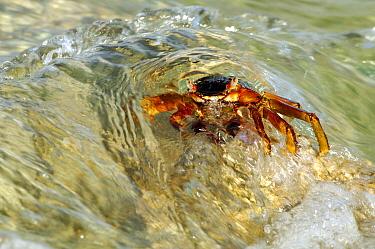 Rock Crab (Neosarmatium meinerti), Aldabra, Seychelles  -  Wil Meinderts/ Buiten-beeld