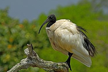 Malagasy Sacred Ibis (Threskiornis bernieri), Aldabra, Seychelles  -  Wil Meinderts/ Buiten-beeld