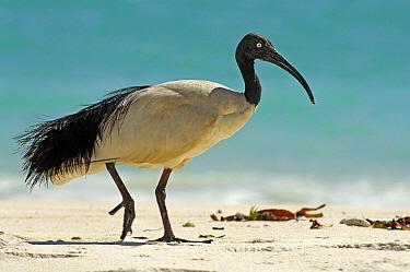 Malagasy Sacred Ibis (Threskiornis bernieri) walking on beach, Aldabra, Seychelles  -  Wil Meinderts/ Buiten-beeld