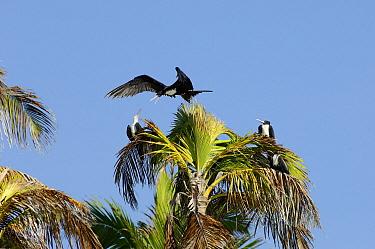 Great Frigatebird (Fregata minor) group in palm tree, Aldabra, Seychelles  -  Wil Meinderts/ Buiten-beeld