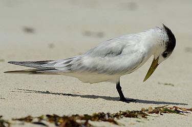 Greater Crested Tern (Thalasseus bergii), Aldabra, Seychelles  -  Wil Meinderts/ Buiten-beeld