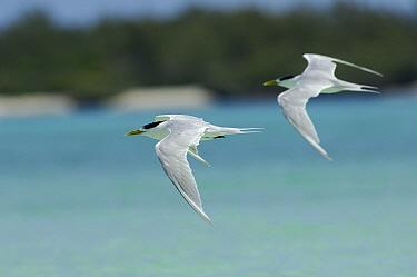 Greater Crested Tern (Thalasseus bergii) pair flying, Aldabra, Seychelles  -  Wil Meinderts/ Buiten-beeld