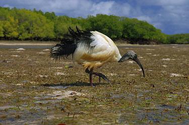 Malagasy Sacred Ibis (Threskiornis bernieri) foraging, Aldabra, Seychelles  -  Wil Meinderts/ Buiten-beeld